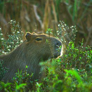 Capibara, Esteros del Ibeira, Argentine