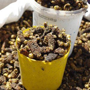Chenilles en vrac, nourriture, marché, Livingstone, Zambie