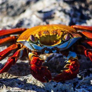 Crabe rouge, Galapagos
