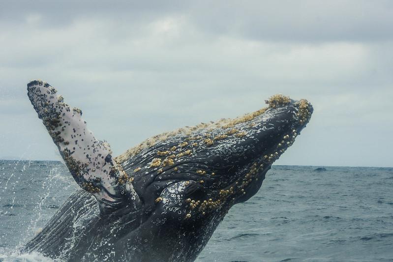 Equateur, Baleine
