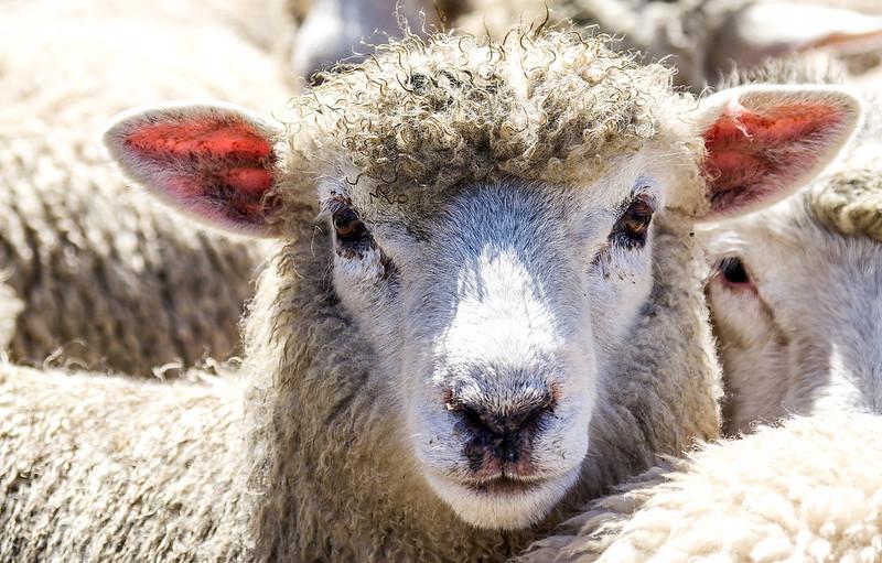 Nouvelle Zelande, mouton