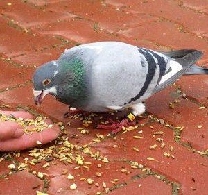 Pigeon voyageur, arnaque