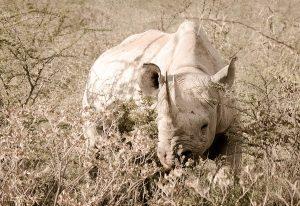 Rhino sepia dans les herbes, etosha, Namibie, Afrique