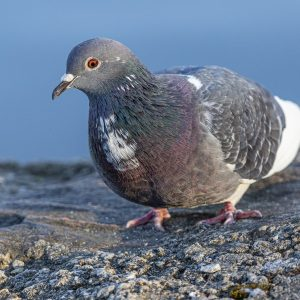domestic-pigeon-4837652_1280