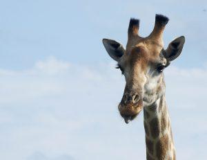 giraffe tirant la langue, kruger, afrique du sud