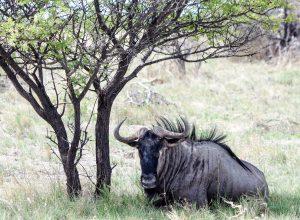 gnou sous un arbre, Namibie, etosha