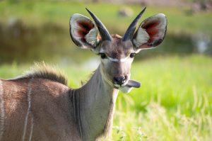 koudou tirant la langue, grandes oreilles dressees, vert, brun, Namibie, etosha