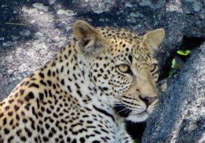 leopard, tete, kruger, afrique du sud