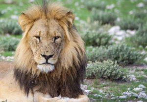 lion, fauve, tete, centre, Namibie, etosha