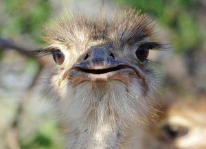 oeil autruche, face, namibie, afrique