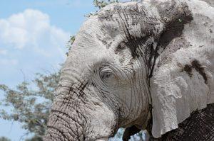 oeil elephant, gris, tete de profil, namibie, afrique