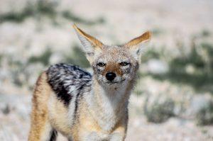 renard de Cap, gris, fauve, Namibie, etosha